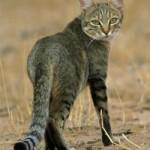 Кошачий хвост-язык кошки