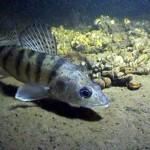 Берш рыбалка в Удмуртии