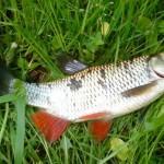 Елец рыбалка в Удмуртии