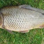 Карп рыбалка в Удмуртии