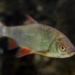 Красноперка рыбалка в Удмуртии