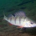 Окунь рыбалка в Удмуртии