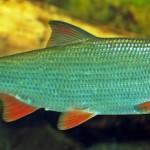 Подуст рыбалка в Удмуртии