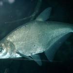 Синец рыбалка в Удмуртии