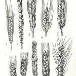 Виды пшеницы: 1 — культурная однозернянка; 2 — спельта; 3 — полба, или двузернянка; 4 — Тимофеева; 5 — польская; 6 — круглозерная; 7 — карликовая; 8 — мягкая безостая; 9 — твердая; 10 — мягкая остистая.