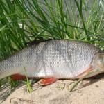 Язь рыбалка в Удмуртии