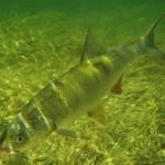 Жерех рыбалка в Удмуртии