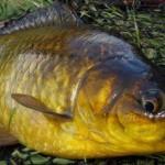 Золотой Карась рыбалка в Удмуртии