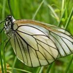 Нашествие белых бабочек в Удмуртии