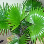 Почему желтеет пальма