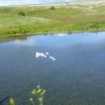Гуси на Первомайском пруду, Сарапульский район