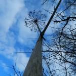 дерево валерианы