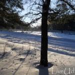 в сосновом лесу зимой