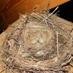 гнездо синицы с яйцами