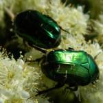 июньские жуки на цветах калины
