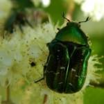 июньский жук на цветах калины