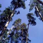 сосны на фоне голубого неба