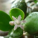 цветок денежного дерева