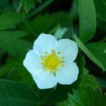 цветок лесной клубники