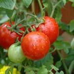 Как выращивать помидоры в Удмуртии