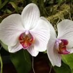 Орхидеи-как ухаживать