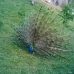 павлин распустил хвост в ижевском зоопарке