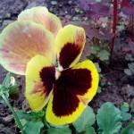 желтая садовая фиалка