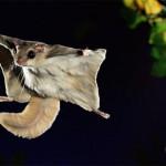 Белка-летяга в полете