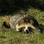 Енотовидная собака (Уссурийский енот)
