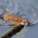 Охота на ондатру в Удмуртии
