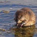 Водяная полевка (водяная крыса)