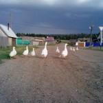 гуси в селе Кыйлуд