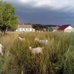 козы в селе Кыйлуд