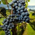 Что такое винотерапия
