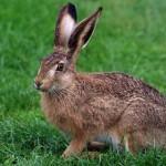 Охота на зайца-русака в Удмуртии