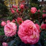 большой розовый куст санаторий Варзи Ятчи