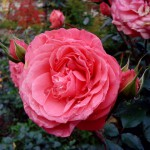 роза в росе санаторий Варзи Ятчи