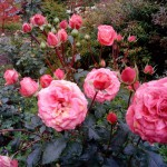 розовый куст санаторий Варзи Ятчи