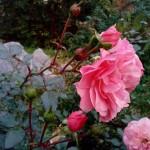 розы санаторий Варзи Ятчи