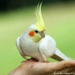 Какого попугая купить для дома