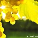 Как правильно выбрать участок под виноград