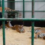 экскурсия в закулисную часть ижевского цирка тигры