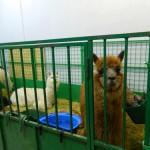 экскурсия в закулисную часть ижевского цирка вальер лам