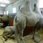 экскурсия в закулисную часть ижевского цирка верблюды