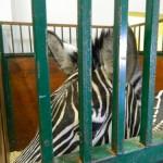 экскурсия в закулисную часть ижевского цирка зебра