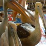 экскурсия в закулисную ижевского цирка пеликаны