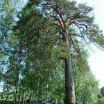 памятник природы Сосна-Борть в Якшур-Бодье