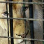 в закулисной части ижевского цирка лев царь зверей