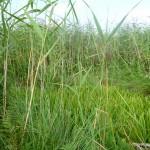 Растительность озера Ольховое урочище Обухи близ села Вятское Каракулинский район
