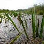 болотная трава озера Ольховое урочище Обухи